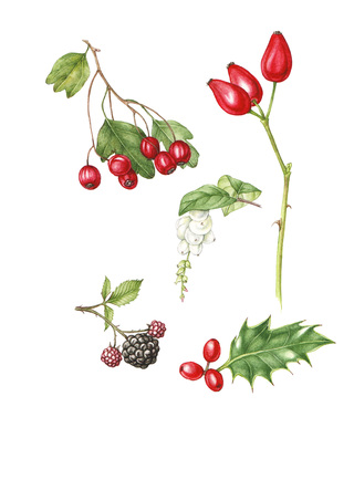 Hips, haws and berries